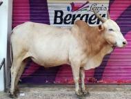 Kráva modelka. Agonda, Goa, Indie