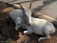 Krávy. Agonda, Goa, Indie