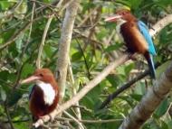 Ptáci. Agonda, Goa, Indie