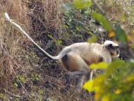 Opice ve skoku. Agonda, Goa, Indie