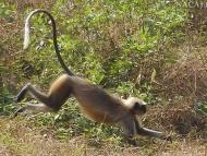 Běžící opice. Agonda, Goa, Indie