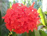 Květy. Příroda v Indii. Agonda, Goa, Indie
