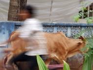 Kráva a cyklista. Agonda, Goa, Indie