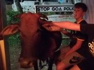 Kráva v baru. Agonda, Goa, Indie