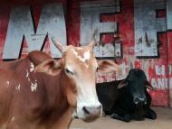 Kráva a reklama. Chaudi, Goa, Indie