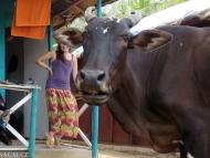 Indická kráva na pobřeží. Goa, Indie