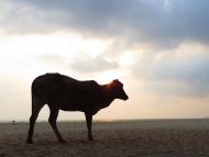 Kráva a západ slunce. Agonda, Goa, Indie
