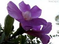 Květ - Agonda. Goa, Indie