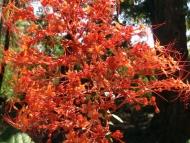 Květiny - Agonda, Goa, Indie