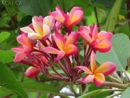 Květy v Goa. Indie