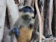 Opice. Cabo de Rama, Agonda, Goa, Indie
