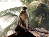 Opice na střeše. Agonda. Goa, Indie