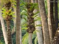 Palmový háj. Agonda, Goa, Indie
