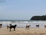 Psi na pobřeží. Goa, Indie