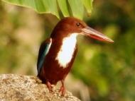 Ptáček. Agonda, Goa, Indie