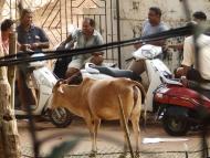 Kráva a rykšáci. Agonda, Goa, Indie