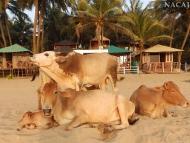 Kkrávy na pláži - Agonda. Goa, Indie