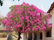 Kvetoucí strom. Cabo de Rama, Goa, Indie
