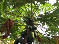 strom-plody-priroda-goa-ind.jpg