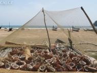 Sušení kokosu na pobřeží. Goa, Indie