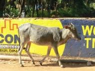 TATA Kráva. Agonda, Goa, Indie