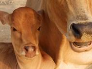 Tele a kráva - Agonda, Goa, Indie