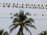 Vlašťovky. Agonda. Goa, Indie