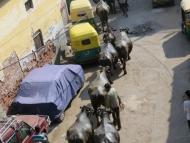 Agra-buvoli-Indie-2015.jpg