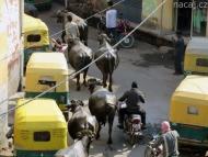 Agra-buvoli-Indie.jpg