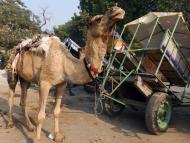 Velbloud - Agra, Indie