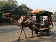 Velbloud - Agra. Indie