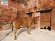 kráva - Agra, Indie