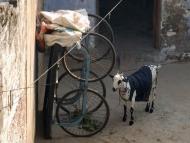 Koza v Agra, Indie