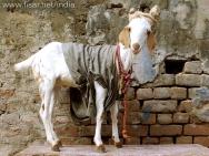 Koza, miss-india, Agra, Indie