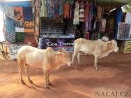 Krávy na pláži v Goa, Indie