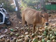 Kráva v kokosech. Arambol, Goa, Indie