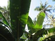 Banánovník. Arambol, Goa, Indie