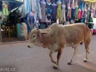 Kráva v Arambolu, Goa, Indie