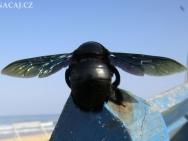 Hmyz na pláži v Calangute, Goa - Indie