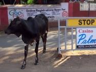 Kráva na ulici v Baga, Goa - Indie