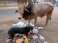 Pes a kráva na ulici v Calangute, Goa - Indie
