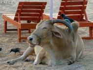 Kráva s ptáky. Calangute, Goa, Indie