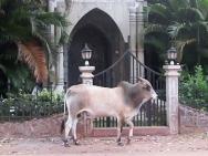 Kráva na ulici v Calangute, Goa - Indie