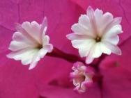Květ v lednu, Calangute, Goa - Indie