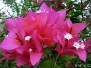 Květy v lednu, Calangute, Goa - Indie