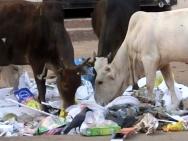 Krávy na ulici v Calangute, Goa - Indie