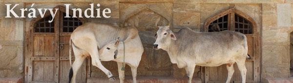 Fotografie z Indie: Indické krávy