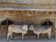 Krávy. Jaipur-Rajasthan, Indie
