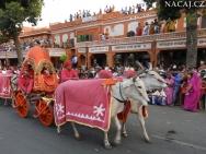 Krávy na slavnosti. Jaipur, Rajasthan, Indie