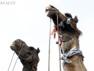 velbloudi-hlavy-Jaipur-Rajasthan-Indie